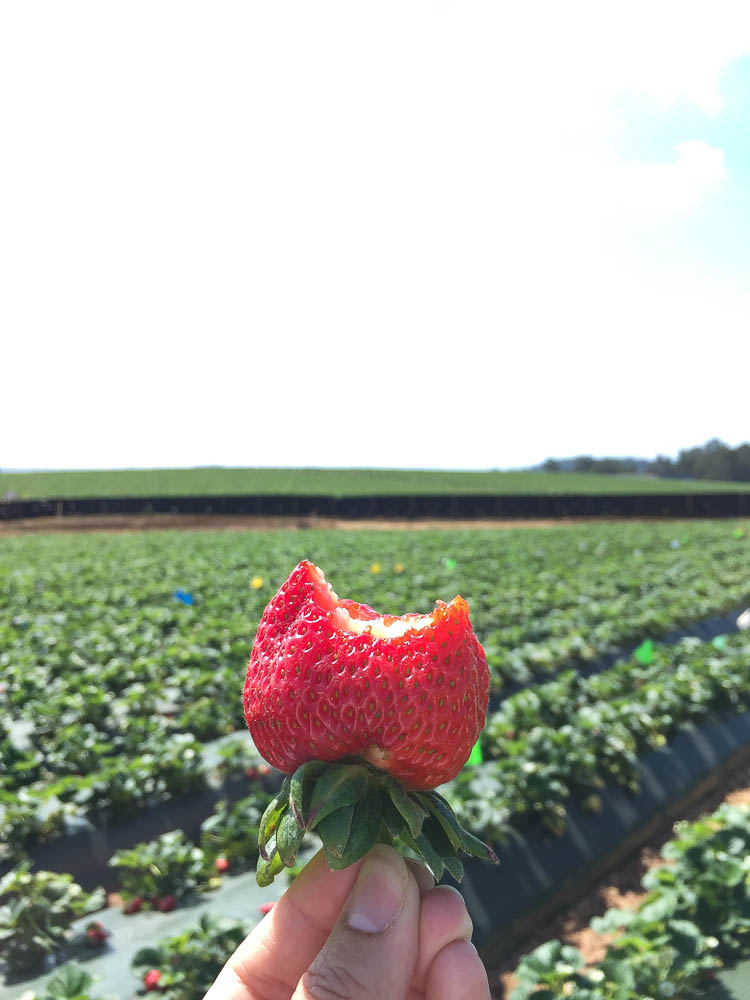 California Strawberries Farm Tour