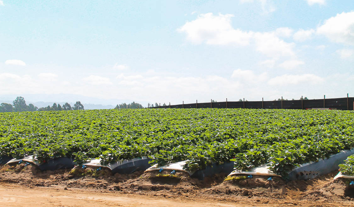 What I learned about CA Strawberries at Ramos Farms